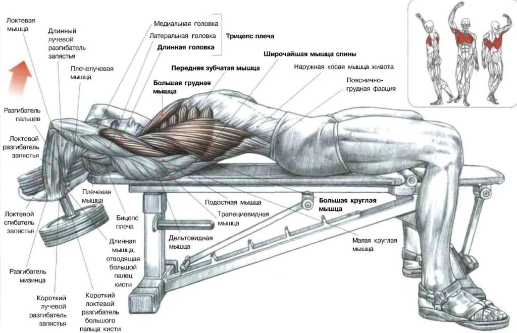Мышцы пуловер с гантелей лежа на скамье